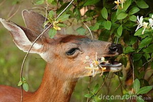 Deer Eating Plants Image
