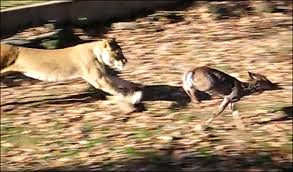 Deer Chased by a Lion Image