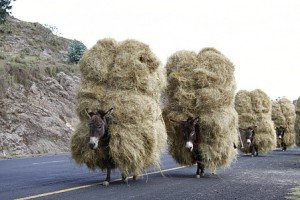Donkeys Carrying Hay Image