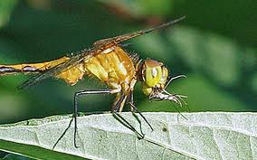Dragonfly Eating a Mosquito Image