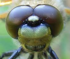 Dragonfly Eyes Image