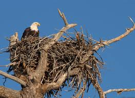 Eagle on its Nest Image