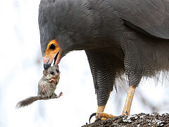 Bird of Prey Eating a Mouse Image
