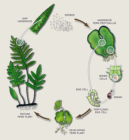 How a Fern Reproduces through Spores Image