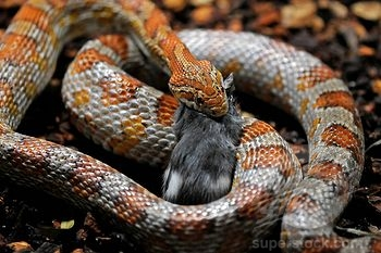 Fierce Snake Eating a Rat Image