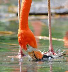 Flamingo Eating Method Image