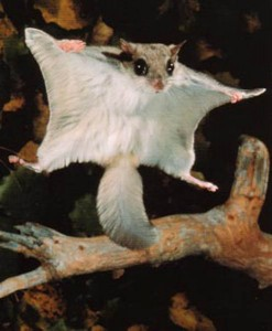 Flying Squirrel Spreading its Flap Image