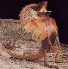 Standing frilled Lizard with Frills Open Image