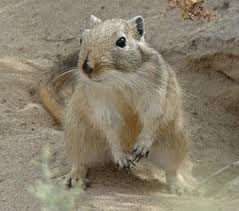 A Big Gerbil in the Desert Image