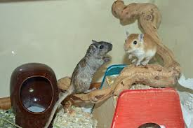 Gerbils Playing Around Image