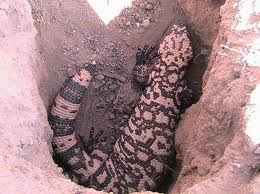 Gila Monsters Quiz
