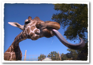 Giraffe Tongue Image