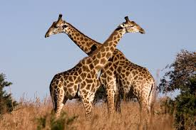 Giraffe Couple Image - Science for Kids All About Hoofed Giants