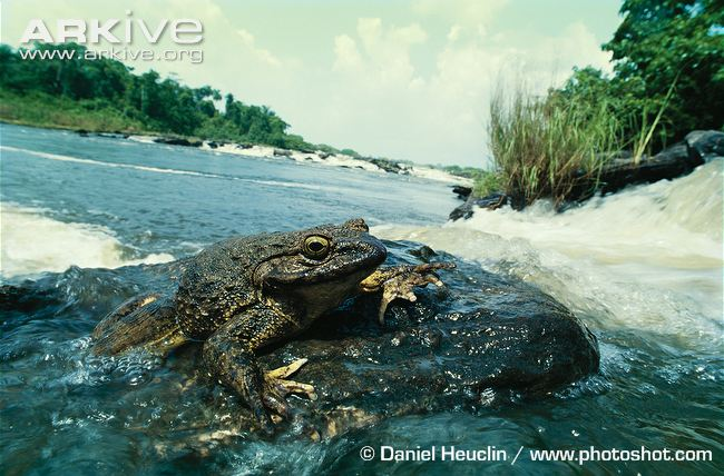 Goliath Frog in Freshwater Image