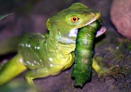 Green Basilisk Lizard Eating a Caterpillar Image