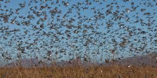 A Swarm of Locusts Image