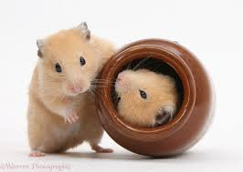Hamsters – Cute Little Animals