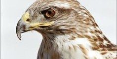 All About Hawks – The Fierce Hunter Birds