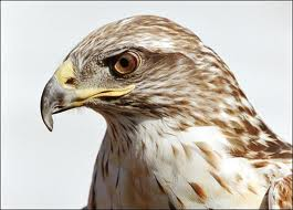 Close Up of a Hawk Face image - Science for Kids All About Hawks