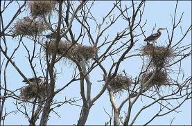 Heron Nests on a Tree Image