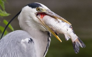 Heron Choking on Fish Image
