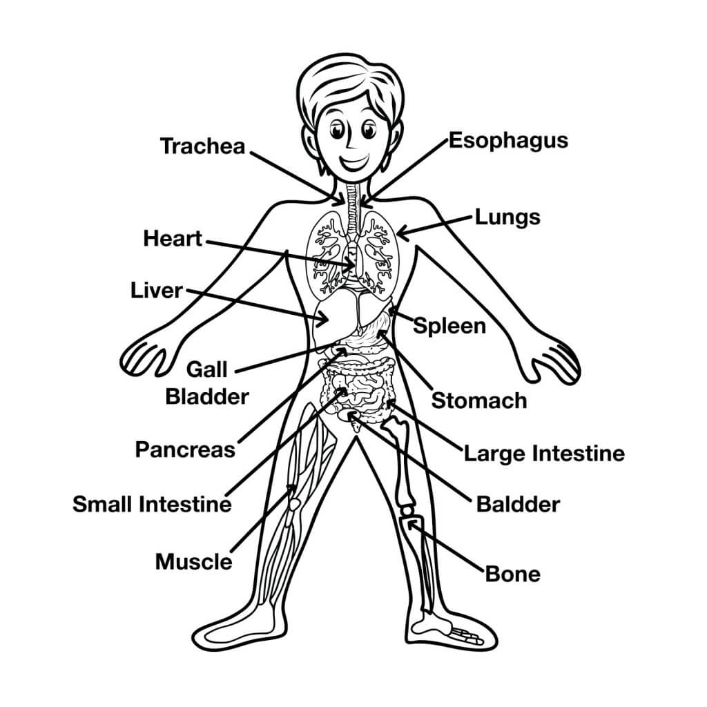 Main Body Parts Image - Science for Kids All About Your Body