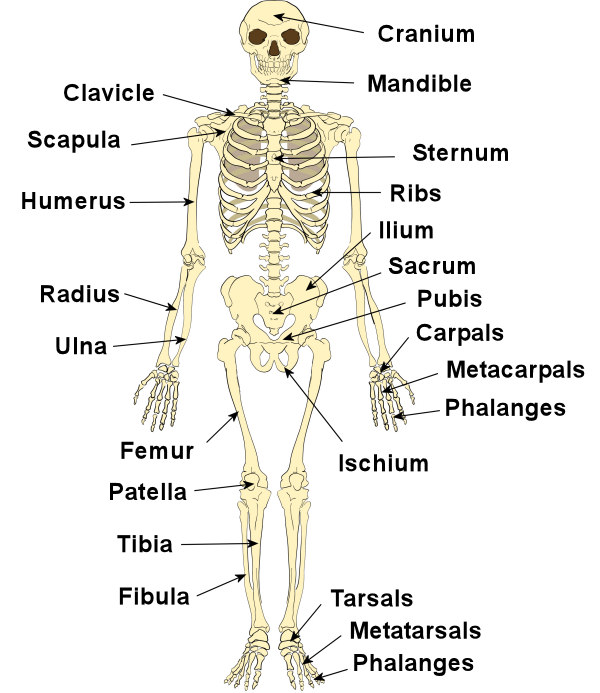 The Human Skeleton System Labeled Bones