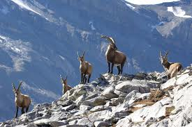 Ibex Herd on Rocks Image