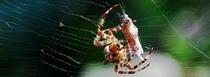 Arachnid Feeding on Prey Image