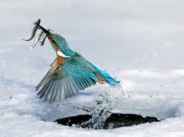 Kingfishers – The Expert Fishermen Birds