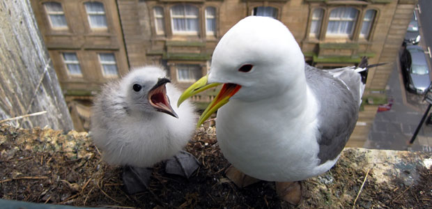 kittiwakes-in-their-nest image