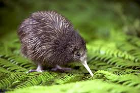 Kiwi Looking for Food Image
