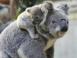 Baby Koala on its Mother's Back Image