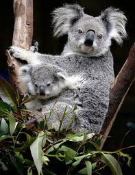 Baby Koala in the Pouch Image