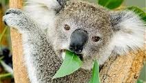 All About Koalas – The Eucalyptus Leaves Eaters
