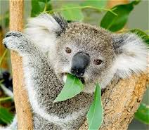 Koala Eating Eucalyptus Leaves Image