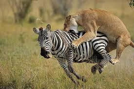 Lion Attacking a Zebra Image