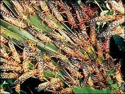 A Group of Locusts Eating Plant Image