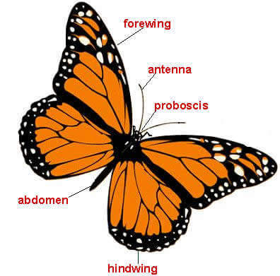 Main Body Parts of Butterflies and Moths Image