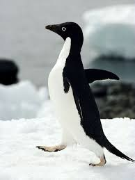male-adelies penguin image - Penguin Facts for Kids