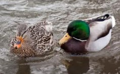 All About Ducks – The Adorable and Friendly Birds