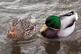Male and Female Duck Comparison Image - Science for Kids All About Ducks