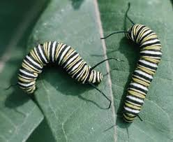Monarch Butterfly as a Caterpillar Image