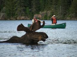 Moose Swimming Image