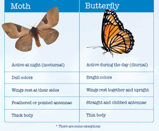 Comparison Between Butterflies and Moths Image - Science for Kids All About Butterflies and Moths