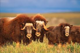 Musk Oxen Eating Grass Image