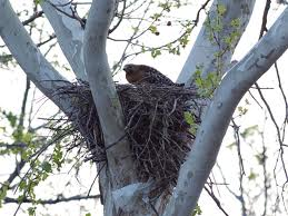 Bird of Prey in a Nest Image
