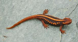 Fun Salamanders and Newts Quiz – FREE Interactive Easy Quiz Questions for Kids