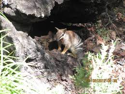 Numbat Burrow Image