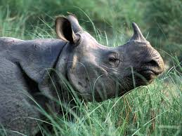 One-Horned Rhino in Grasslands Image
